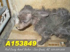 POOR, NEGLECTED + at RISK! - This DOG - ID#A153849  I am a female, black Chihuahua - Long Haired mix.  The shelter staff think I am about 3 years old.  I have been at the shelter since Apr 09, 2014. https://www.facebook.com/photo.php?fbid=477644222337857&set=a.397881533647460.1073741849.120830141352602&type=3&theater