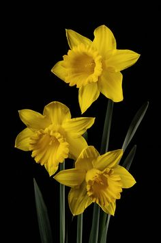 Daffodil Group | Studio shot of daffodils | Mike Stoy | Flickr