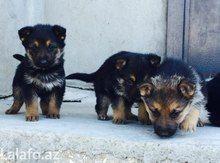 Itlər Baki Azərbaycan Tap Az Animals Dogs