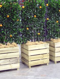 Espaliered fruit trees in wooden boxes- if these were on wheels- you could use them as temporary gates