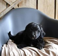 Copper - Bernese Mountain Dog Mix Puppy for Sale in Blairsville, PA | Lancaster Puppies Bernese Mountain Dog Mix, Mountain Dogs, Lancaster Puppies, Dog Mixes, Puppies For Sale, Labrador Retriever, Animals, Labrador Retrievers, Animales