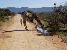 Drinking Giraffe pumba bush South Africa.