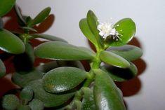 Je to léčivka a přitahuje prosperitu. Slime, Feng Shui, Aloe Vera, Bonsai, Flora, Succulents, Plants, Gardening, Fitness Plan