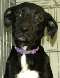 Chatham, a little lab mix puppy, is still just a baby at 6 months old. She's a bundle of fun and waiting to meet her forever family at Happily Ever After Animal Sanctuary in Northeast WI!
