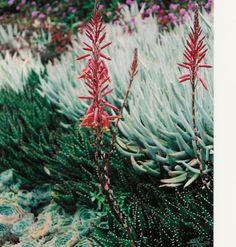 Plant photo of: Aloe X nobilis