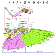 鳥の骨格構造と名称