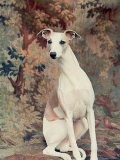 Portrait de Whippet Choisis le meilleur dans le spectacle à la 88e édition annuelle de Dog Show de Kennel Club de Westminster
