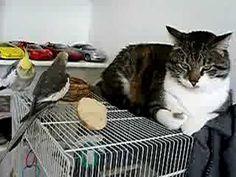 awwwwww,,,,,,Cockatiel singing to a cat~KA