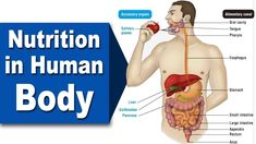 Digestive System Grade 7 Part 1 Branches Of Biology, Salivary Gland, Cavities, Nutrition, Dental Caries