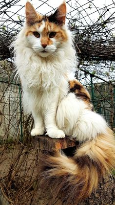 Maine coon http://www.mainecoonguide.com/what-is-the-average-maine-coon-lifespan/