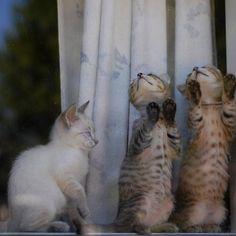 two of three watching flies #kittens