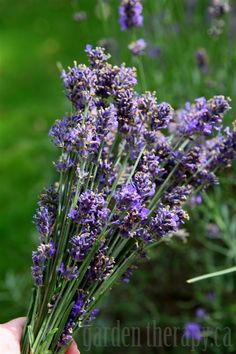 Harvesting English Lavender via www.gardentherapy.ca.