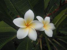 thai flowers