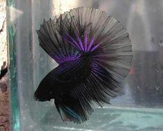 Black and purple beta fish