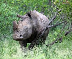 Word is Spreading in Viet Nam: Rhino Horn Isn't Medicine - Polls show dramatic decrease in demand thanks to public campaign