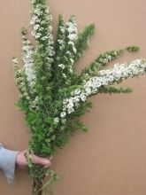 Spirea, Snowmound - Wholesale Flowers for weddings and events – Wholesale Florist – Floral, Floral Supply, Flower Distributor