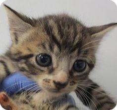 Decatur, GA - Domestic Shorthair. Meet Tandy, a kitten for adoption. http://www.adoptapet.com/pet/13557906-decatur-georgia-kitten