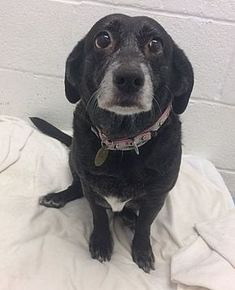 03/10/2018 OAK RIDGE, NJ - ADOPT PRINCESS WINIFRED is a SENIOR LAB/DACHSHUND doxie Mix, sweet, friendly gentle 9 year old, ex-pet, good with dogs, good with kids, with fit in any home, especially one with another dog. Please contact shelter for more info.