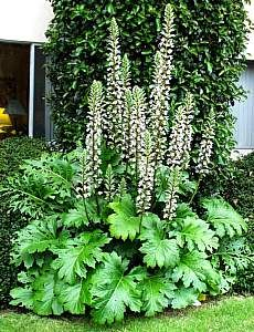Bear's Breeches-- Acanthus Mollis-- will die back in summer to reappear w/ winter rains therefore sort of drought tolerant.  Will grow under Eucalyptus-- in front of to-be-planted hedge along west fence?