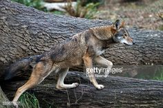 533677607-red-wolf-gettyimages.jpg (507×338)