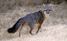 Urocyon cinereoargenteus - Grey Fox -- Sighted: Goshen,  NY across from the horse farm