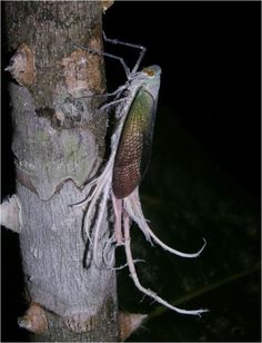 Wax-tailed planthopper. Additionally, left to its own devices it will eat your soul... jk, maybe
