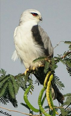 Black shouldered kite Game Birds, Vertebrates, Birds Of Prey, Raptors, Falcons, Livestock, Kite, Farm Life, Beautiful Birds