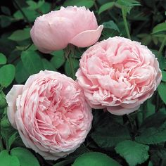 Spirit of Freedom - Repeat-Flowering A strong growing variety bearing large, cupped, fragrant blooms Large, deeply cupped blooms of soft glowing pink, gradually turning lilac-pink. Pleasing fragrance with a hint of myrrh. A strong growing variety. A David Austin Rose