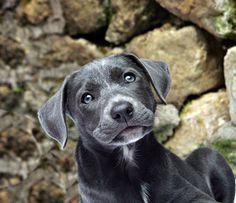 boxer dog grey puppy