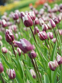 A boldly colored triumph-type, 'Zurel' offers rich purple blooms with white streaks! http://www.bhg.com/gardening/flowers/bulbs/best-tulips-for-your-garden/?socsrc=bhgpin040615zurel&page=4
