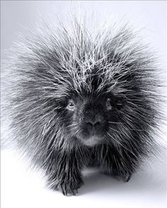 sweet-faced porcupine