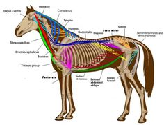equine endocrine system disorders - Google Search
