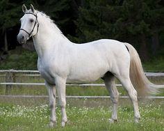 21 Siglavy Capriola Convoj. Stallion available via semin. Lipizzan stud