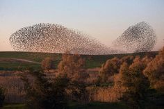 "Throughout the northern hemisphere, the dark cold months between November and February are the time when European starlings, Sturnus vulgaris, come together every evening into large flocks known as ""murmurations"". Prior to settling in to their chosen communal sleeping site for the night, these birds perform a series of intricate aerial manoeuvres, where the flock repeatedly circles, and changes shape and density above their roost site for roughly half an hour at dusk."