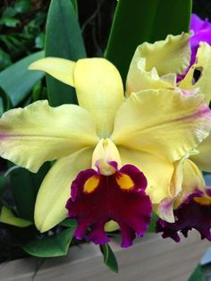Cattleya Orchids - Orchids Plus Unusual Flowers, Rare Flowers, Types Of Flowers, Amazing Flowers, Beautiful Flowers, Orchid Flowers, Beautiful Gorgeous, Cattleya Orchid, Calla