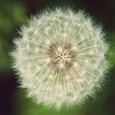 Dandelion Macro  #iPad #Air #Wallpaper