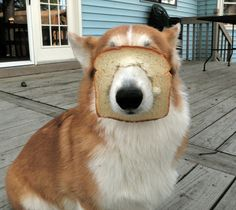 Bread Corgi - Funny pictures and memes of dogs doing and implying things. If you thought you couldn't possible love dogs anymore, this might prove you wrong. Funny Animal Memes, Funny Animals, Cute Animals, Corgi Funny, Funny Dogs, Corgi Pug, Corgi Socks, Corgi Pembroke, Corgi Puppies