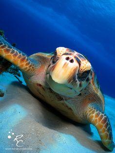 Sea #turtle love