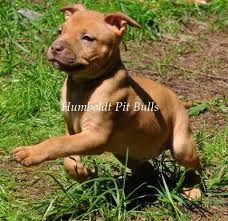 red nose pitbull terrier - Google Search