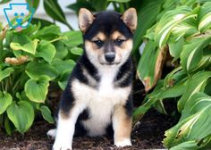 Get A New Puppy Today! View our ADORABLE Newborn Puppies You can get a new puppy today by viewing our adorable newborn puppies of many different breeds! Find a new furry friend that's perfect for you and your family! Baby Puppies For Sale, Newborn Puppies, Puppy Finder, Buy A Dog, Puppy Care, New Puppy, Shiba Inu, Dog Owners, Cute Babies