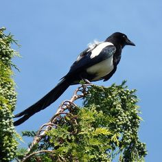 Wiccan Moonsong: The Magpie as Your Totem Animal or Spirit Animal