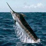 Majestic Blue Marlin ...