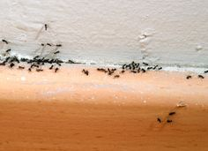 Common Pests in your Home - Ants - Some people believe that the cockroach will take over the world, but we bet on the lowly ant. Breeding colonies of ants, sometimes known as su­perorganisms, are resistant to both radiation and industrial pollution. Colonies of some species can even survive in flooded ground.  Read more: http://home.tipsdiscover.com/common-pests-home-ants/#ixzz2vN1mtgby