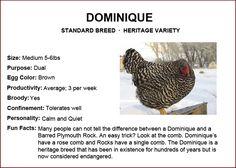 Chicken Breeds - Dominique