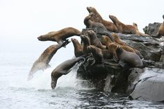 In this 2007 file photo, Steller sea lions dive off a rock haulout. Two thirds of marine mammal deaths and serious injuries from human interactions during a recent five-year period were of Steller sea lions, a new NOAA report says. Vladimir Burkanov / Alaska Fisheries Science Center, NOAA Fisheries Service