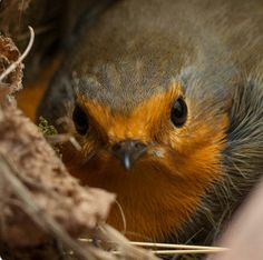 Beautiful wee Robin
