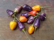"TRICOLOR PEPPER; 'A beautiful ornamental pepper that produces 1"" long cone shaped peppers in colors of purple, white, yellow, orange, and red. Another great container plant as the plant produces peppers in all shades at the same time.  95 days'"