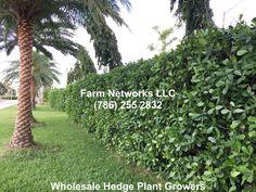Clusia Hedge Wholesale Plant Nursery, Clusia, Wholesale Plants, Hedges, Belize, Homesteading, Florida, Garden, Backyard Ideas