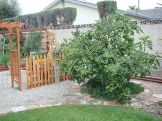 Want the Brown Turkey fig tree! North Garden, Tree Plan, Forest Garden, Outside Living, Fig Tree, Farm Gardens, Edible Garden, Garden Gates, Permaculture