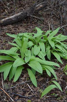 Allium tricoccum: Z3, part-shade, ave-moist, #woodland ... #EmeraldGreenFoliage - a #Spring Ephemeral; reddish stalks, white flower heads | Prairiemoon.com